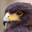 Stock Photo: Young juvenile eagle in closeup