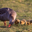White-fronted goose with youngsters — Stock Photo #7516519
