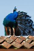 Niebieski paw siedzi na dachu — Zdjęcie stockowe