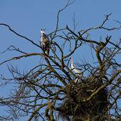 Garza pájaro pareja sentada en el nido — Stok fotoğraf