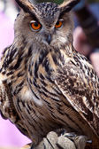 Big eagle owl in closeup — Stock Photo