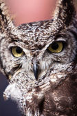 Long eared owl in closeup — Stock Photo