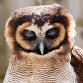 Young juvenile owl in closeup — Stock Photo