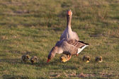 White-fronted goose couple with youngsters — Stock Photo
