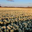 Large narcissus field in spring — Stockfoto #7520436