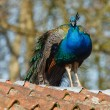 Stock Photo: Blue peacock sitting on roof