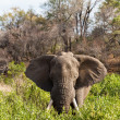 Elephant standing the bushes — Stockfoto