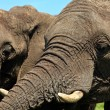 Close up of elephants head — Stockfoto #7523152
