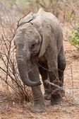 Bébé éléphant marchant — Photo