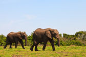 Elephants walking Between the bushes — Stock Photo