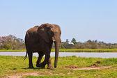 Elephant walking near water — Stock Photo