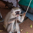 图库照片: Monkey biting on rope