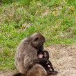 Stock Photo: Baboon mother breast feeding her youngster