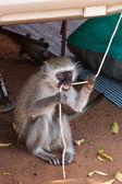 обезьяна, кусаться на веревке — Стоковое фото
