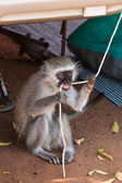 Monkey biting on a rope — Stock Photo