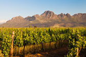 Vineyard in the hills of South Africa — Stock Photo