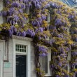 Wisteria flower on the front of a house - Stock Photo