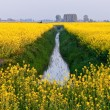 Field with yellow rapeseed flowers — Stock Photo