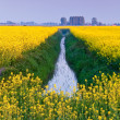 Field with yellow rapeseed flowers — Stock fotografie