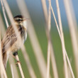 Pipit bird in the reed - Stock Photo