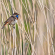 Bluethroat bird in the reed - Stock Photo