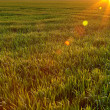 Field with young crop lit by evening sun — Stock Photo