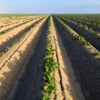 Cultivated potato field — Stock Photo