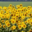 Sun flowers in the countryside - Stock Photo