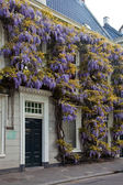 Wisteria flower on the front of a house — Stock Photo