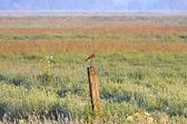 Witgot fågel stående på en stolpe i en jordbruksmark — Stockfoto