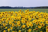 Sun flowers in the countryside — Stock Photo