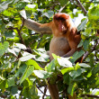 Long nosed monkey sitting in a tree - Stock Photo