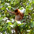 Long nosed monkey sitting in a tree — Stock Photo #7752839