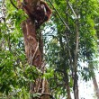 Stock Photo: Female orang uthanging in tree
