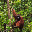 Male orang utan hanging in a tree - 图库照片