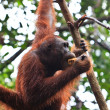 Female orang utan hanging in a tree - Foto Stock