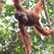 Female orang utan hanging in a tree - 图库照片