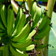 Banana plant detail — Stock Photo