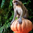 Macaque monkey sitting on a pole - Foto Stock