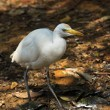 White cattle egret bird on the ground - Stock Photo