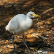 White cattle egret bird on the ground — Stock Photo