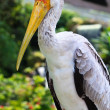 Close up of a painted stork - Foto de Stock