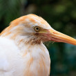White cattle egret bird in close up - 图库照片
