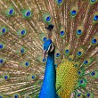 Indian peacock bird proudly showing his feathers - 图库照片