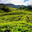 Tea platation in the Cameron Highlands — Stock Photo
