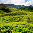 Tea platation in the Cameron Highlands — 图库照片