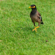 Common Myna bird on the grass - 图库照片
