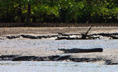 Crocodile resting on the river bank — Stock Photo