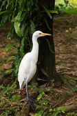 White cattle egret bird on the ground — Stock Photo