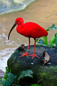 Red ibis bird near the water — Stock Photo
